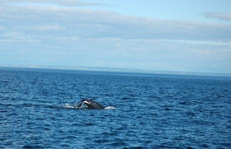 Aceeasi balena la orizont, miscarea 3, sau coada deasupra apei (greu de prins in poza!)